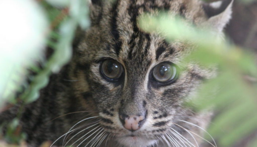 Aquarius Fishing Cat