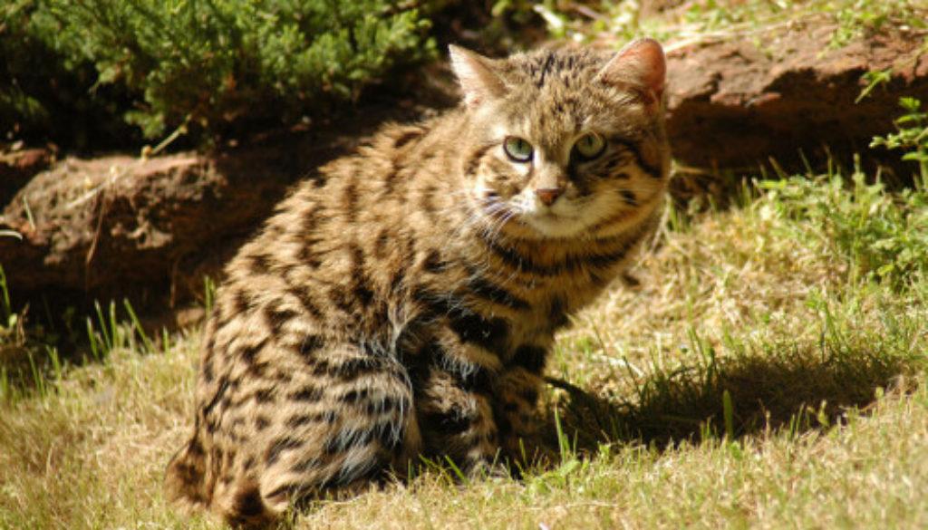 Blackfooted-cat-LaWanna-Mitchell