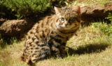 Blackfooted-cat-LaWanna-Mitchell