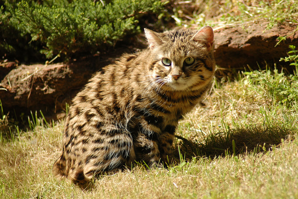 Black Footed Cat Facts