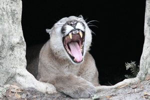 Cougar Yawns