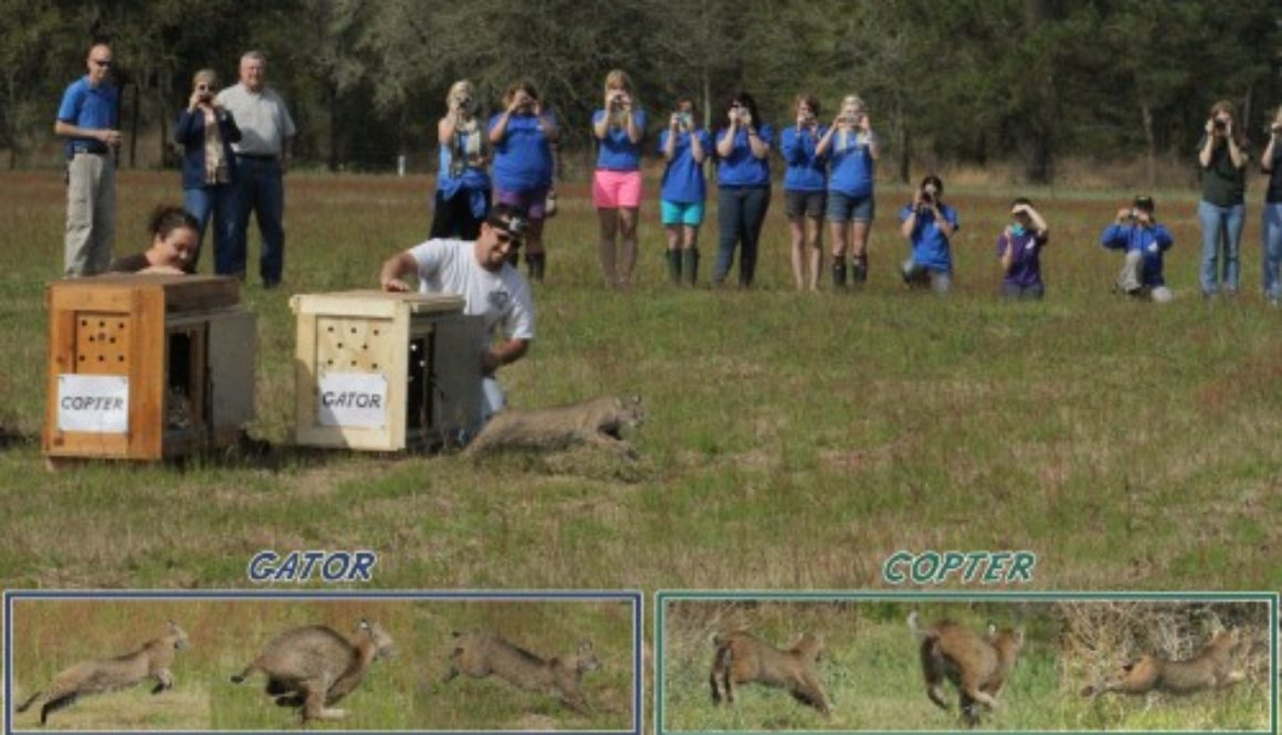 Big Cat Rescue does bobcat rehab and release of native, Florida bobcats.