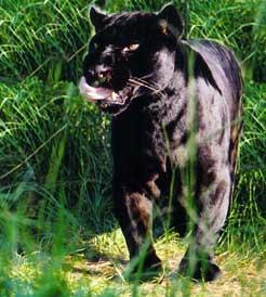 Jaguar Licks Chops