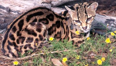 Margay Facts