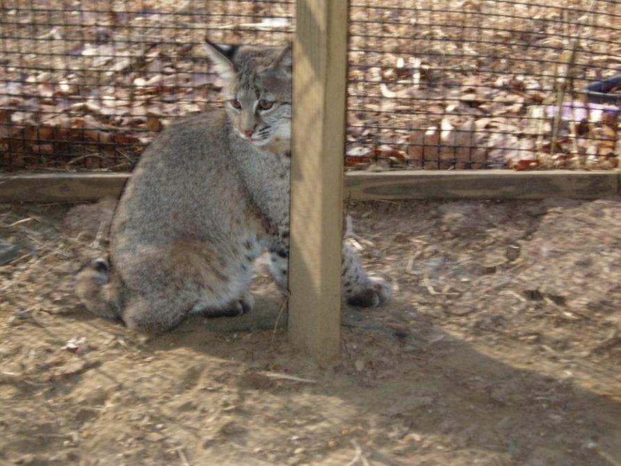 Baby Bobcat Rescue