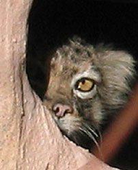 Pallas Cat Peek