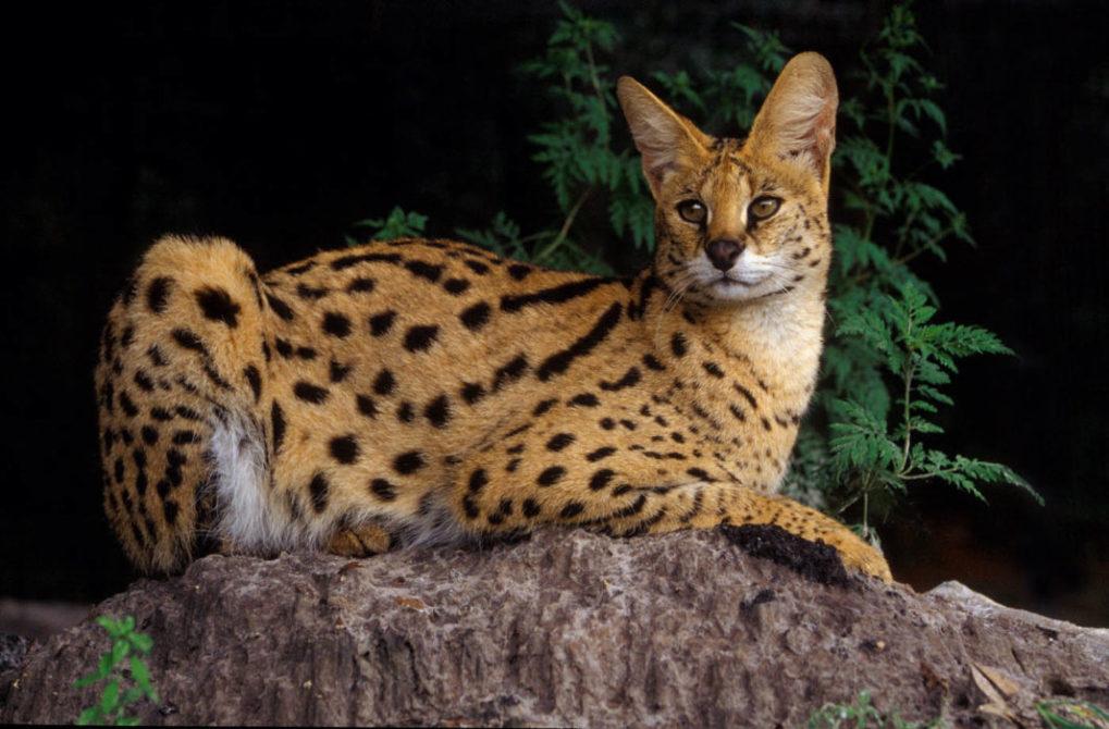 Exotic Cat Standards