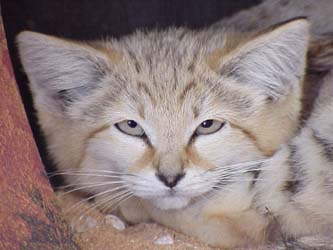 canyon the cute little sandcat at big cat rescue
