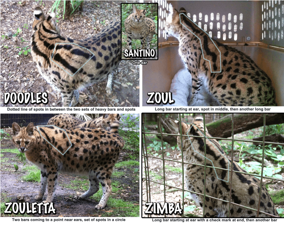 Serval Markings