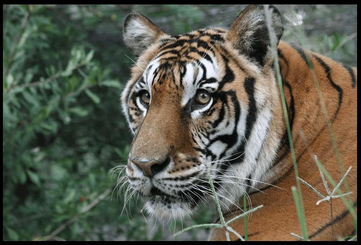 Tiger SARMOTI