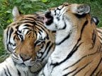Eleven Tiger Poachers Jailed Claimed to Have Killed 8 to 10 Tigers in 6 Months