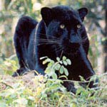 Sabre the black leopard