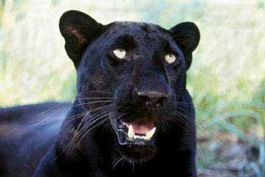 Big Cat Rescue Black Panther