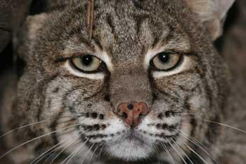 Cherokee the Bobcat at Big Cat Rescue