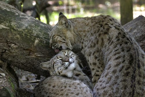 bobcats grooming by Beth Stewart