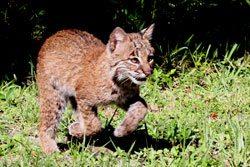 bobcats will