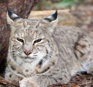 Bobcat Facts, Photos, Sounds, News and Videos