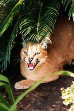 Caracal Cat Facts