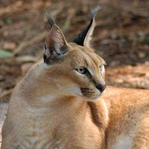 Rusty the caracal at Big Cat Rescue