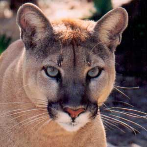 Florida Panther Hit By Cat Rehabilitated Set Free