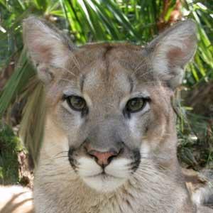 cougar sares