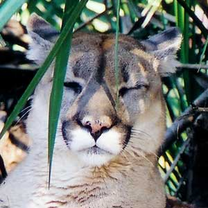Tobi the Cougar at Big Cat Rescue
