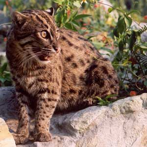 Fishing Cat Facts