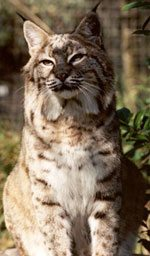 fur farm bobcat rainey