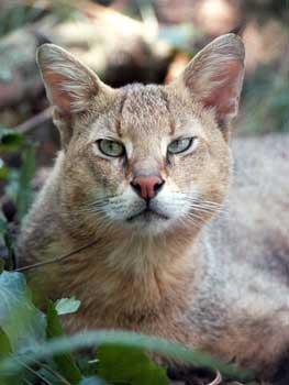 Rambo the Jungle Cat at Big Cat Rescue