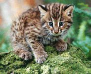 Save Leopard Cats in Taiwan
