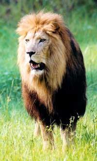 lion Cameron