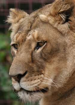 Lioness Sasha
