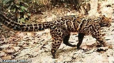 Marbled Cat Facts