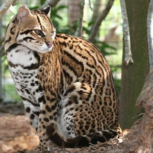 Amazing Grace the Ocelot