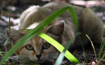 Genie the Sand Cat