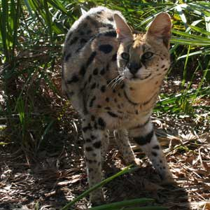 Arizona Serval At Big Cat Rescue