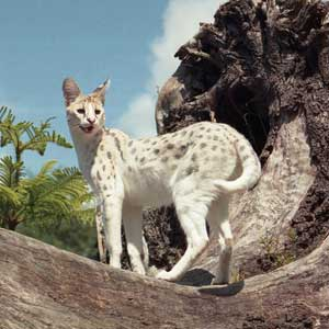 servals white pharoah