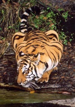 Indian Zoos Don't Allow Exchange of Underage Cubs