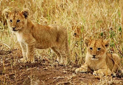 US Chemical Killing Off Wild Lions
