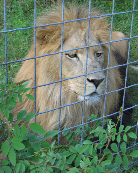 Big Cats Like This Lion Do NOT Belong in Cages