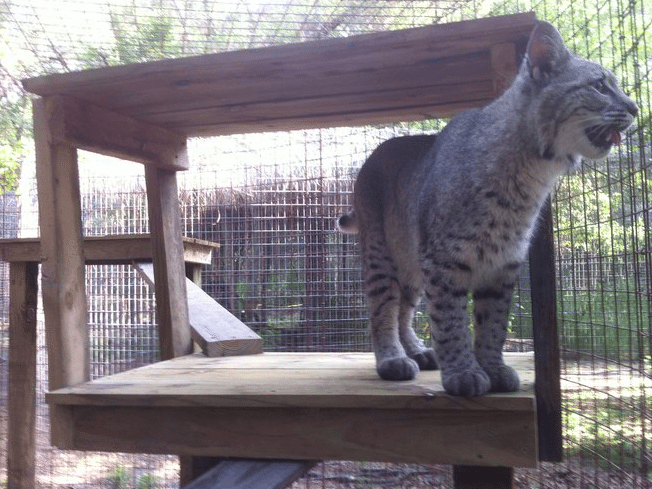 Max the Pet Bobcat Rescue