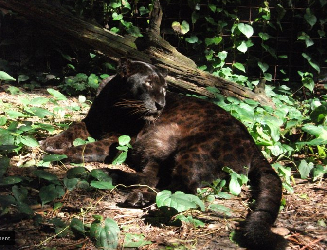Gorgeous Black Leopard Photo 2011