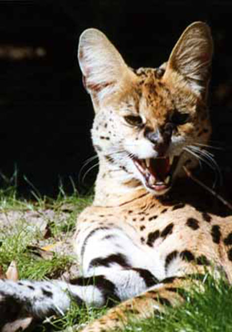 Ty the Serval