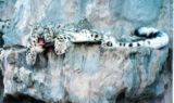 Snow Leopard at Big Cat Rescue