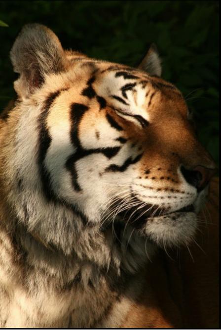 Content Tiger at Big Cat Rescue