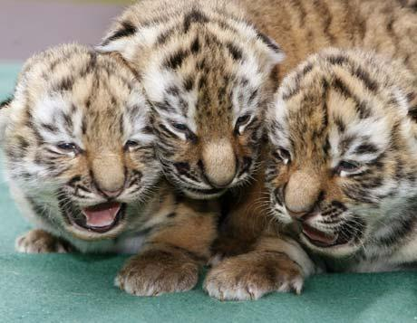 Zoos Know that Tiger Babies Mean Big Bucks