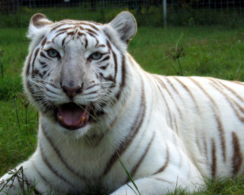 analysis of the white tiger Why should you care about the white tiger orchids in scott westerfeld's uglies we have the answers here, in a quick and easy way.