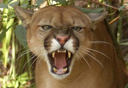 Cougars Make Bad Pets