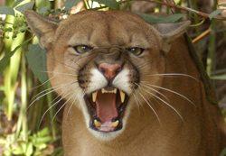 Cougars Make Bad Pets