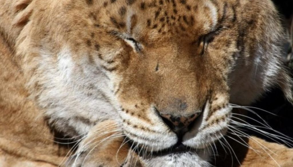 Freckles the Liger at Big Cat Rescue